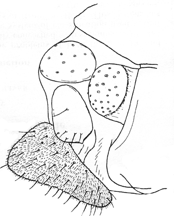 Female genitalia of Pagastia orthogonia, lateral view