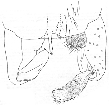 Male hypopygium of Pagastia orthogonia, dorsal view (modifed from Oliver 1959)